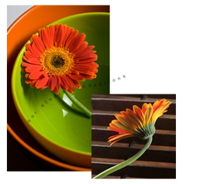 Gerber Daisy in Bright Green Bowl